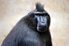Celebes erklommen Makaken - schwarzen Makaken stockbilder