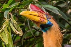 Celebes hornbillfågel med den röda horn- och gulingapelsinnäbb Royaltyfri Foto