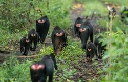 Celebes krönade macaqueMacacanigraen i den Tangkoko nationalparken, Sulawesi, Indonesien Arkivfoto