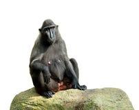 celebes krönade macaquen Royaltyfri Foto