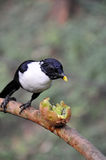 Celebes Magpie and kiwi fruit. Celebes Magpie standing on branches prepare to eat kiwi fruit Royalty Free Stock Photos