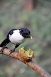 Celebes Magpie and kiwi fruit Royalty Free Stock Photos