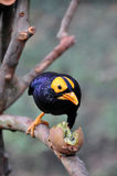 Celebes Magpie and kiwi fruit Royalty Free Stock Photography