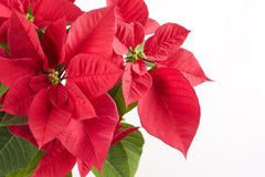 celebración de la Navidad con el poinsettia rojo Fotografía de archivo