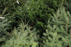 Free Celebrate Christmas, Buy A Christmas Tree On The Market In The Greenhouse. Royalty Free Stock Photos - 113572728