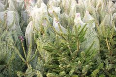 Free Celebrate Christmas, Buy A Christmas Tree On The Market In The Greenhouse. Royalty Free Stock Image - 113572886