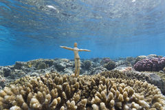 Wood puppet underwater on corals Stock Images