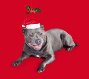 Celebrating Christmas with a blue staffie dog Stock Photos