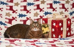 Christmas time with domestic cat stock photos