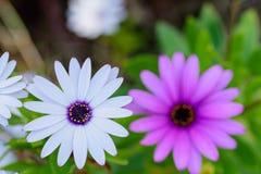 Celebrazione molla e dell'una viola bianca fotografia stock libera da diritti