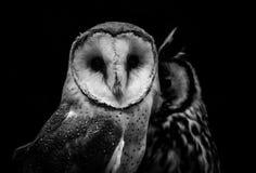 Celeiro clamator alba e listrado de Owl Tyto de Owl Pseudoscops na imagens de stock royalty free