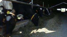 Celeiro da exploração agrícola, vacas de ordenha que comem o feno Rebanhos animais no estábulo Indústria da agricultura Exploraçã filme