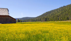 Celeiro e campo de flores amarelas Imagens de Stock Royalty Free