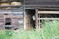 Celeiro e vaca do feno Fotos de Stock Royalty Free