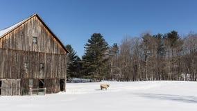 Celeiro e vaca velhos de Nova Inglaterra no inverno fotografia de stock