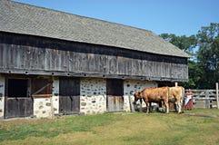 Celeiro histórico, vacas Fotografia de Stock