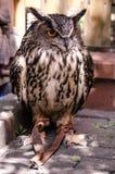 Celeiro Owl Canadian Raptor Conservancy foto de stock royalty free