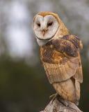 Celeiro Owl Juvenile fotografia de stock royalty free