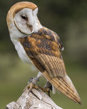 Celeiro Owl Juvenile imagens de stock royalty free
