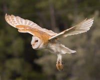 Celeiro Owl Juvenile foto de stock