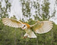 Celeiro Owl Juvenile foto de stock royalty free