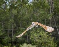 Celeiro Owl Juvenile fotografia de stock