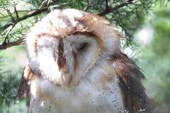 Celeiro Owl Napping foto de stock royalty free