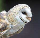 Celeiro Owl Raptor Bird imagens de stock