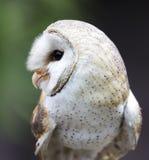 Celeiro Owl Raptor Bird imagem de stock