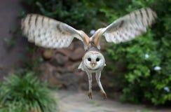 Celeiro Owl Raptor Bird Flying fotos de stock