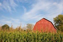 Celeiro vermelho atrás do milho alto com céu azul Foto de Stock Royalty Free