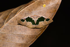 Celenna festivaria moth Stock Images