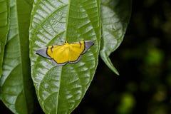 Celerena signata moth hanging under leaf Royalty Free Stock Image