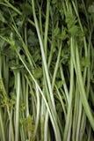 Celeries. Fresh sticks of celeries for sale at a market Stock Images
