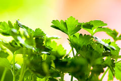Celery. Leaves of celery on green fund Stock Photography
