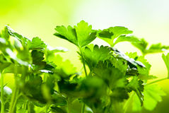 Celery. Leaves of celery on green fund Stock Photos