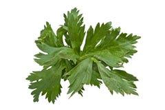 Celery Royalty Free Stock Image