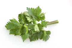 Celery. Isolated on the white Stock Photos