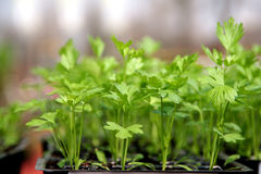 Celery. Young plant ready for plantation in the vegetable garden Stock Photos