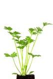 Celery (Apium graveolens) Royalty Free Stock Image