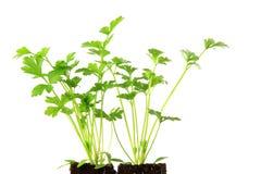 Celery (Apium graveolens) Royalty Free Stock Photo