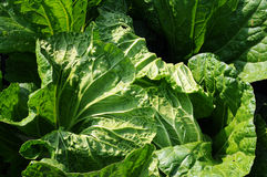 Celery cabbage Stock Photo