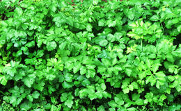 celery crops Stock Photography