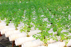 Celery cultivation in a plantation, China Stock Photography