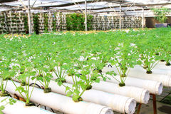 Celery cultivation in a plantation, China Royalty Free Stock Photos
