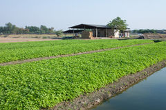 Celery farming in Thailand. Royalty Free Stock Photography