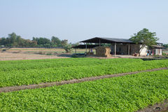 Celery farming in Thailand. Royalty Free Stock Photo