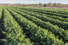 Celery field. Celery cultivation, green leaves royalty free stock images
