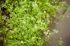 Celery flower royalty free stock image