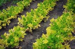 Celery Garden Royalty Free Stock Image